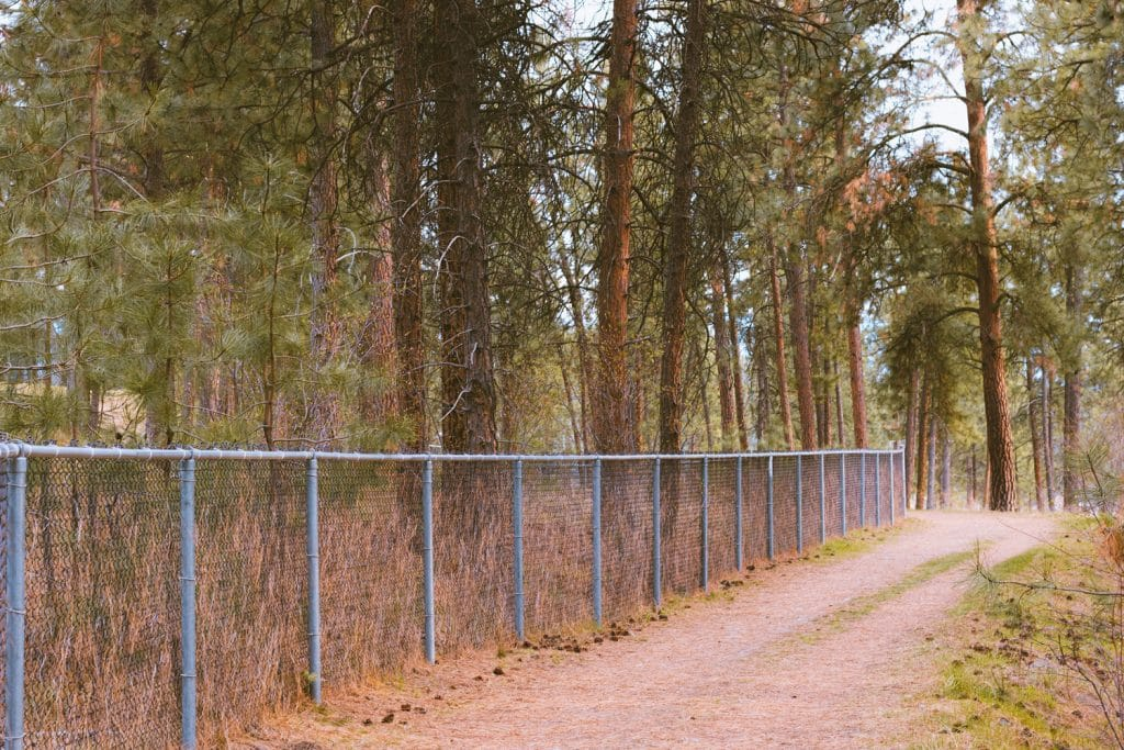 A forest of Ponderosa Pine and a chain link fence on an easy hike in Kelowna