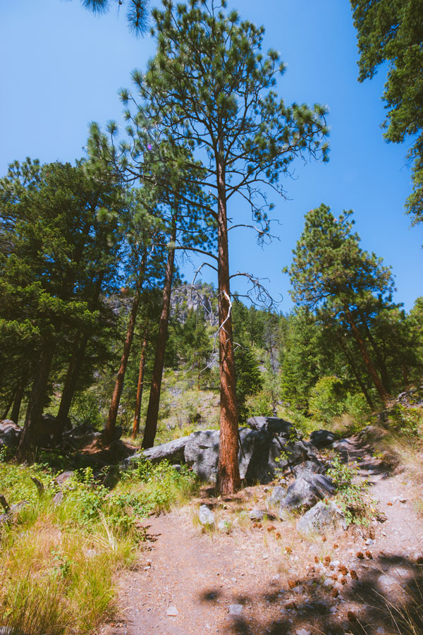 Forest on the Pincushion trail
