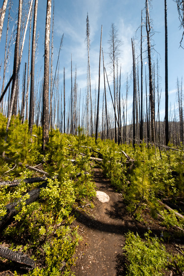Charred forest full of new, green growth.
