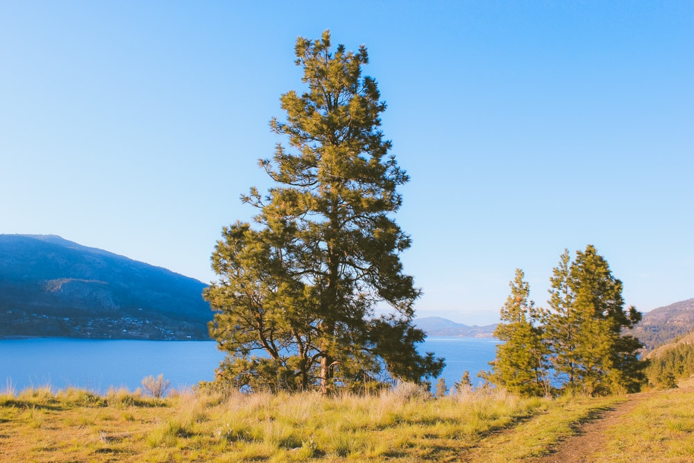 Singular tree stands on the edge of Okanagan Lake.