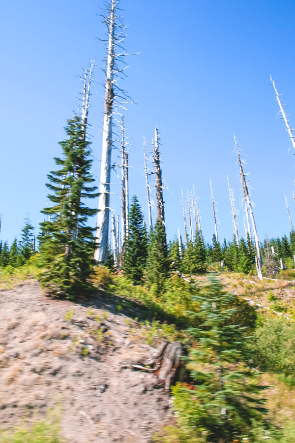 Toothpick-like trees on the road to Windy Ridge.