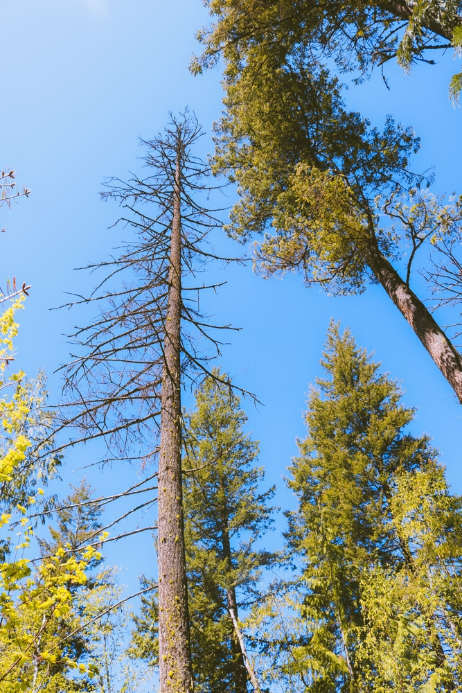 Tall trees at the Enderby Cliffs