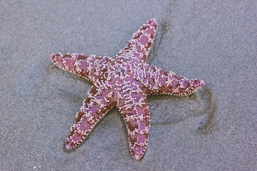 A starfish on the sand at Second Beach, WA