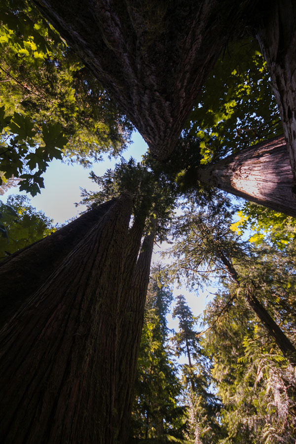 Tall Douglas fir trees at Cathedral Grove on Vancouver Island