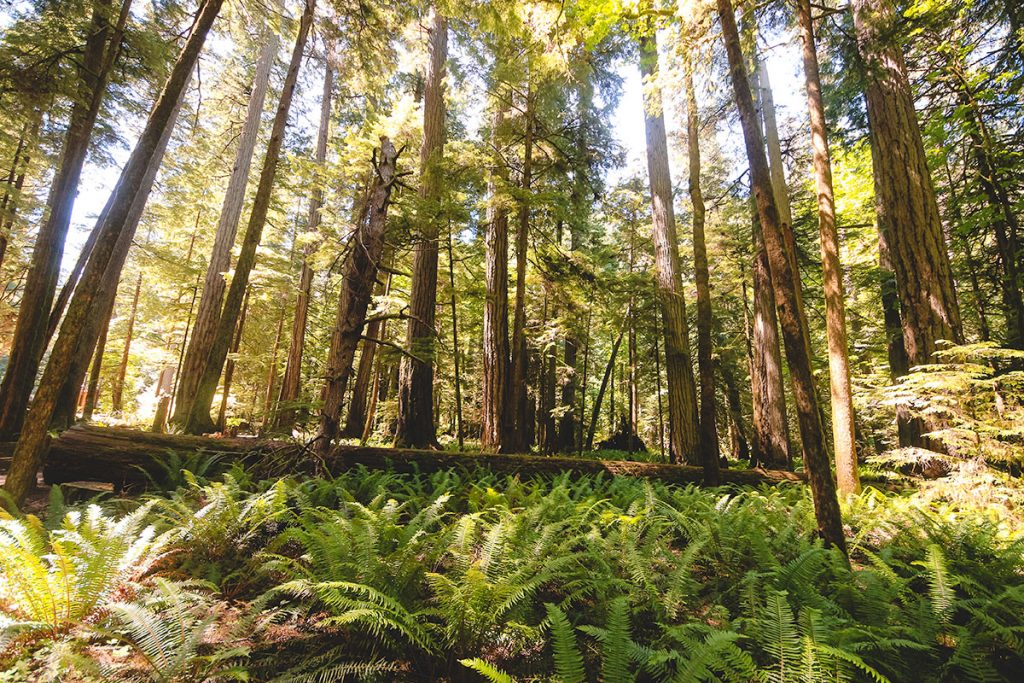Ancient grove forest at Cathedral Grove on Vancouver Island