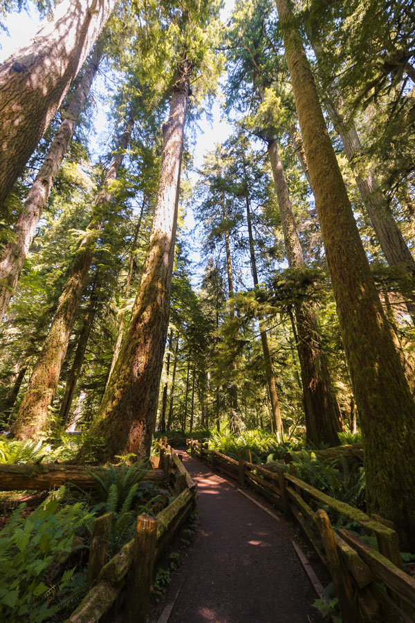 A boardwalk at Cathedral Grove on Vancouver Island