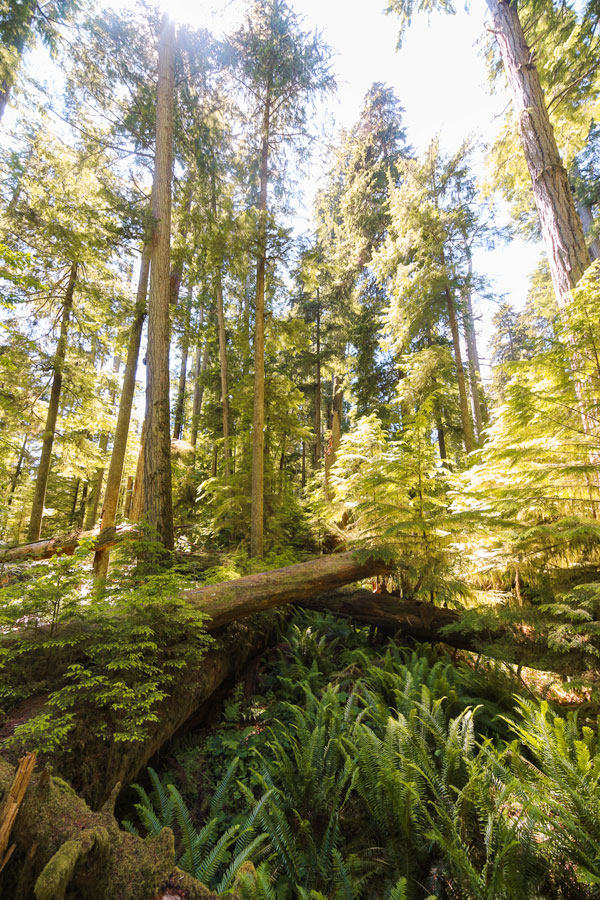 Old growth forest with ferns and large Douglas fir trees