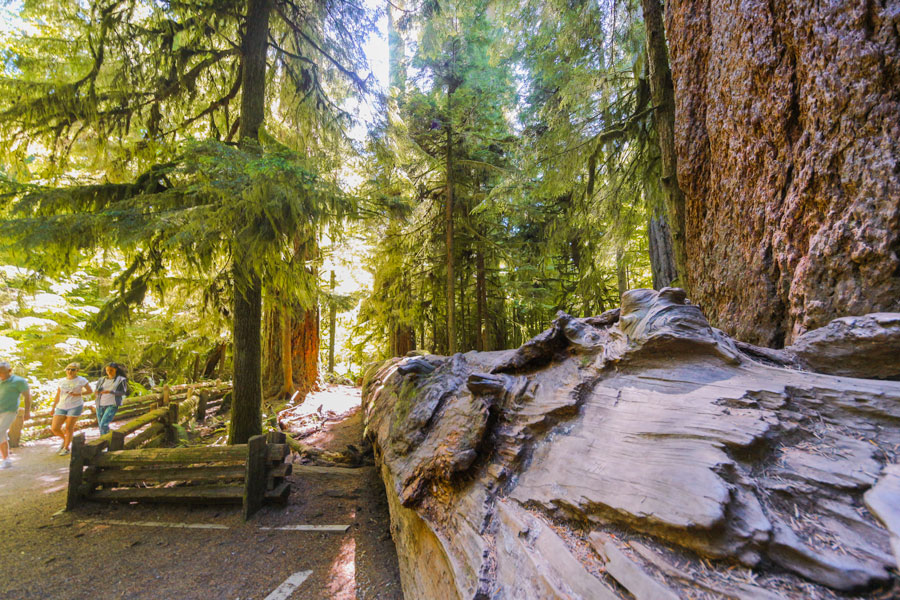 Large, fallen tree in an ancient grove forest on Vancouver Island