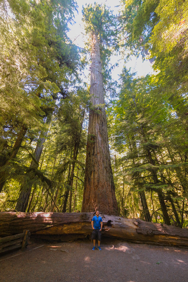 The Big Tree at Cathedral Grove in British Columbia