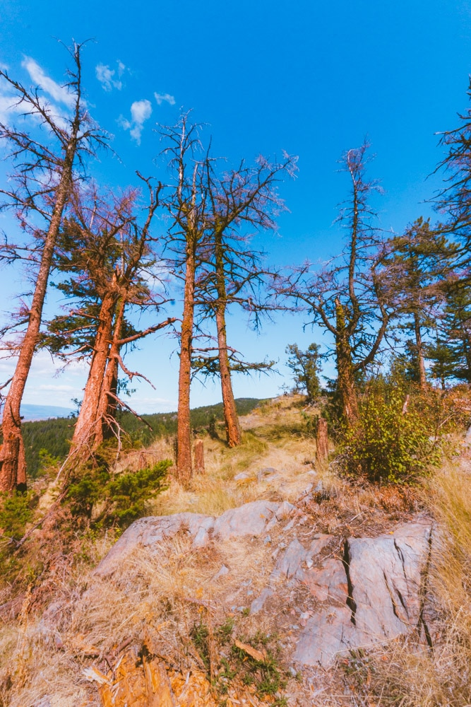 Scraggly trees at the Oyama Lookout with a blue sky