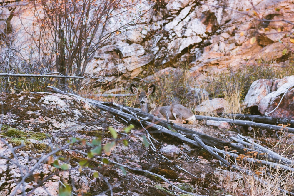 A white-tailed deer lays in the shade on the Kuipers Peak trail in Kelowna.