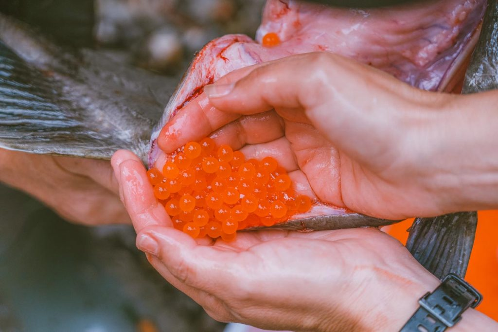 A close up of salmon eggs being removed from a mature salmon