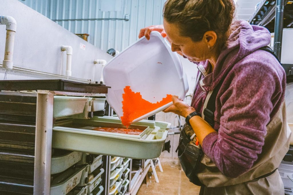A women pours salmon eggs into a tray at the Kingfisher Interpretive Centre