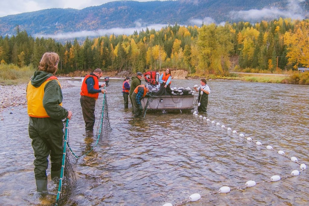 Anglers collect salmon from the Shuswap River in the fall