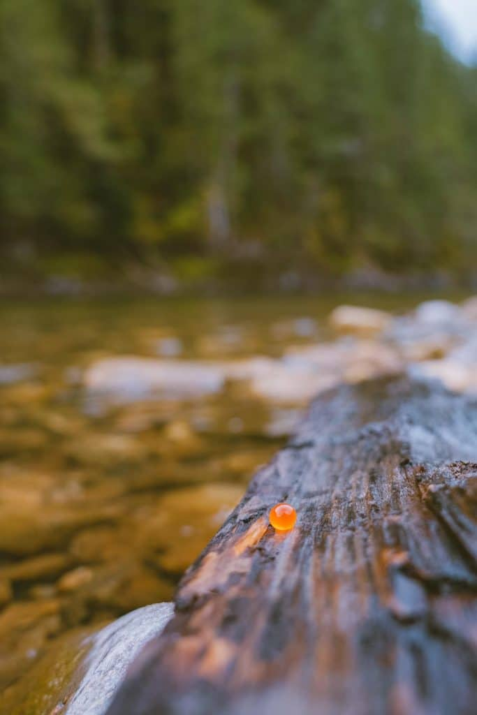 A single salmon egg on wood next to the Shuswap River