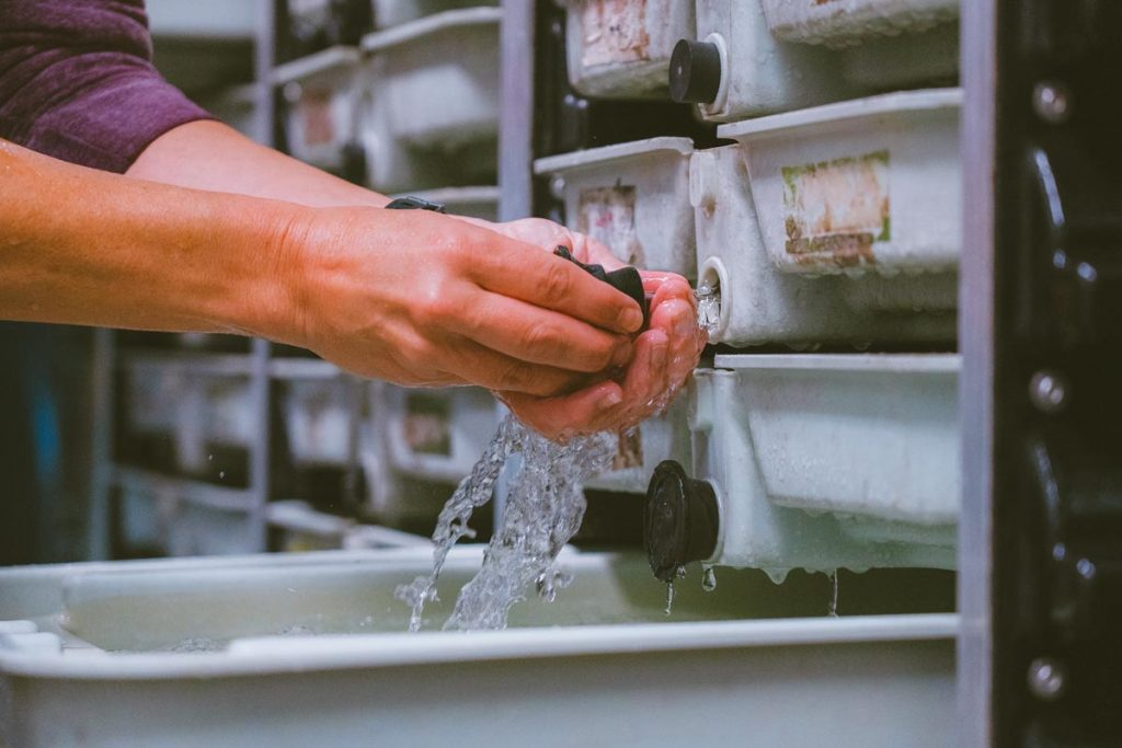 Close up of a woman's hands releasing water into the hatchery trays